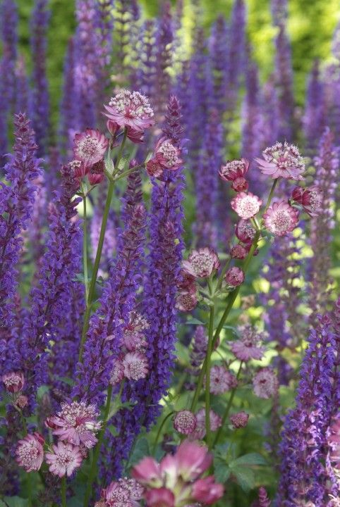 Astrantia and salvia at the gardens of Appeltern