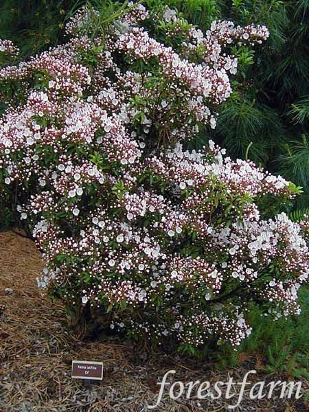 72 Best Evergreen Shrubs For Background And Screens Images