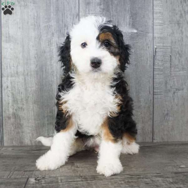Anna Mini Bernedoodle Puppy For Sale In Ohio In 2020 Bernedoodle Puppy Puppies Bernedoodle