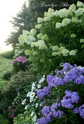Limelights Hydrangea, Phlox, Daisy: this would be a perfect natural fence