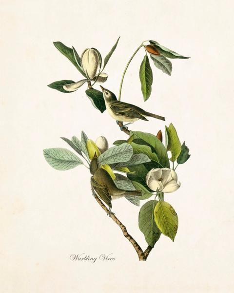 Vintage Audubon Warbling Vireo