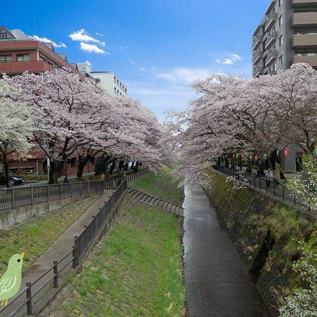 【shino_pr】さんのInstagramをピンしています。 《#多摩センター #桜 #年賀状  あけましておめでとうございます!》