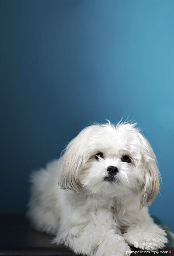 maltese and shih tzu mix 516 best images about sweet dogs on pinterest poodles 5766