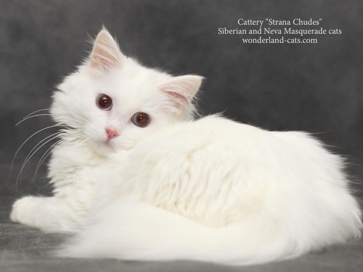 """Russian Siberian beautiful, cute white kitten, blue eyes. In cattery """"Strana Chudes"""" you can choose beautiful hypoallergenic kittens and cats different colors: Siberian traditional cats and Neva Masquerade color point cats. Show/breeding and pet class. Moscow, Russia. Delivery is possible in other countries. wonderland-cats.com"""