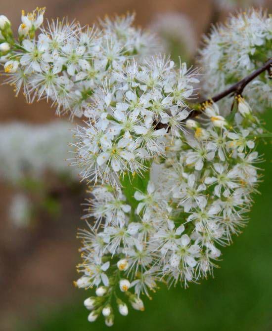 177 best new border plants images on pinterest bees border plants prunus maackii amber beauty flower mightylinksfo