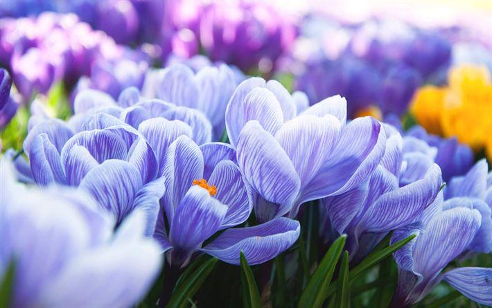 Download wallpapers crocuses, purple flowers, flowering, wildflowers