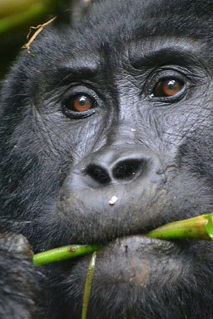 Gorilla spotted in the wild! Read more about how you can spot these gorgeous creatures.