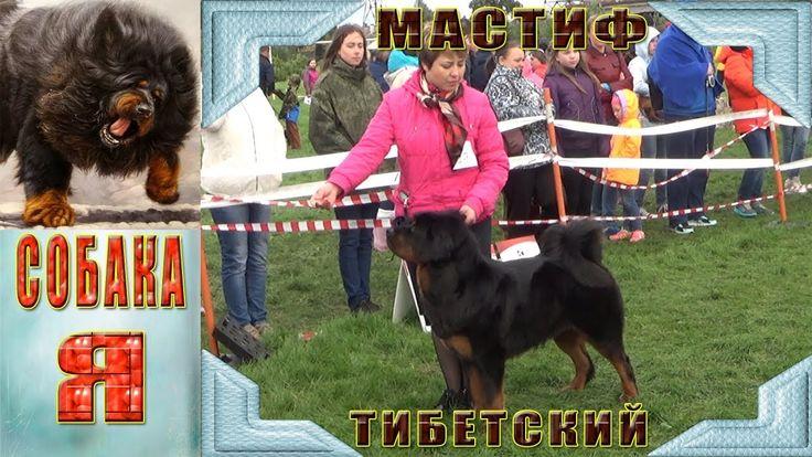 Тибетский Мастиф  Всероссийская выставка собак :  «Северная осень 2017»  Понравилось видео поставте пожалуйста лайк, оставьте коментарий, хотите увидеть еще - подпишитесь на канал и нажмите на колокольчик). Спасибо за просмотр!