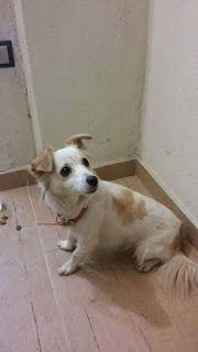Το γνωρίζει κανείς ? Το ψάχνει κανείς ? Βρεθηκε πριν από λίγο να περιφέρεται στο Κορδελιο στην οδό Κατσαντωνη θηλυκό σκυλάκι με καφέ περιλαίμιο.