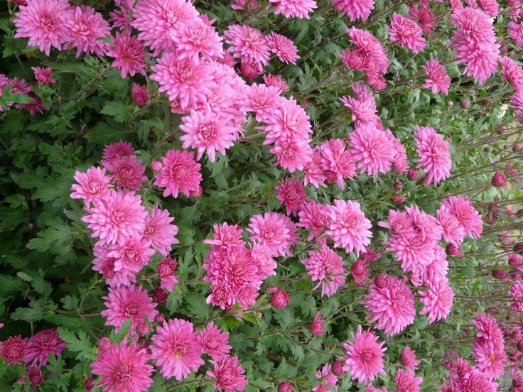 Chrysanthemen Winterhart
