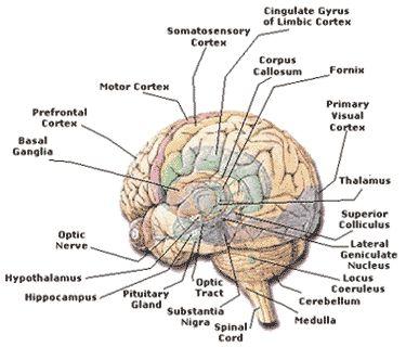 25+ best ideas about Human brain weight on Pinterest | Crucial ...