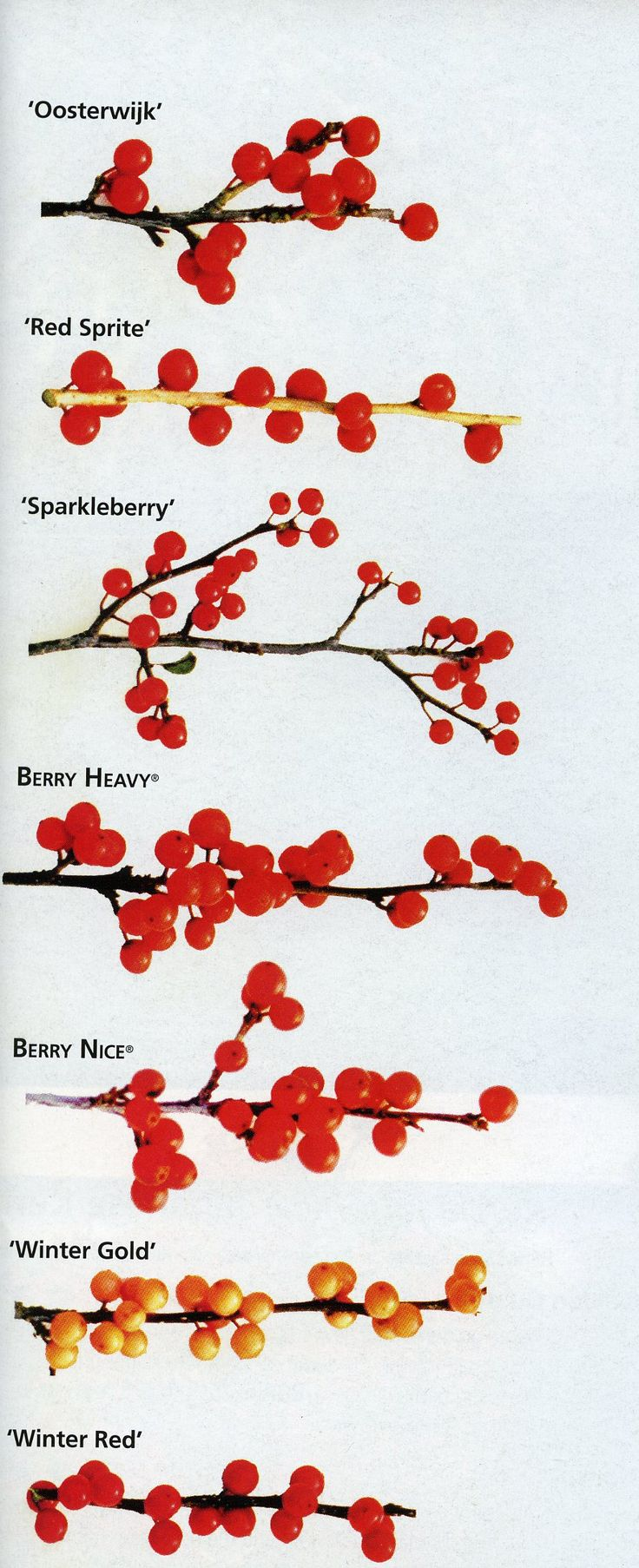 ilex verticillata comparison - Needs male pollinator, Red Sprite is short 3-4', Oostewijk has long lasting berries