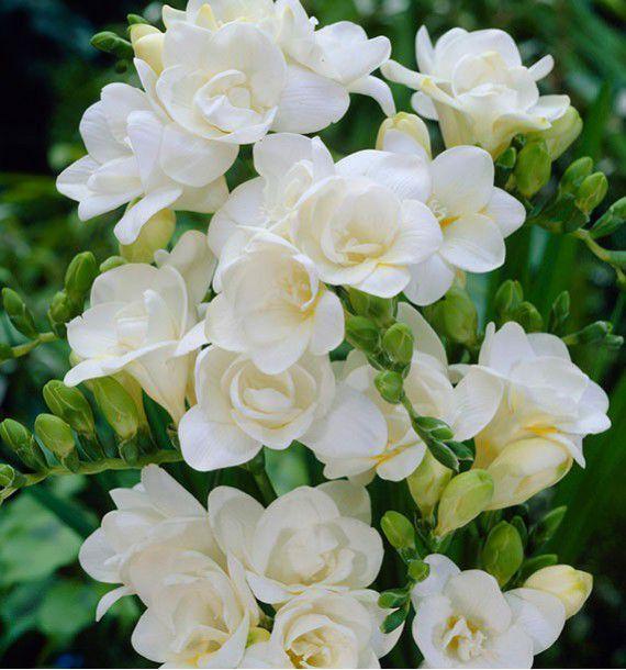 FREESIA DOUBLE BLANC TERESA, plante en ligne