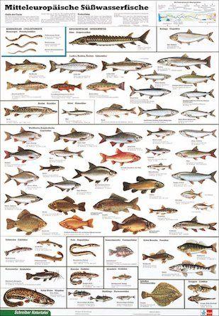 Poster vom Klett Verlag - Süßwasserfische