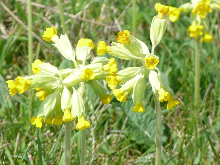 There must be 101 reasons to visit Durlston Country Park near Swanage and this is certainly one of them. In the flower meadows at the top of the cliffsin May there are countless numbers of Cowslip. The same is true of the neighbouring Dorset Wildlife Trust reserve of Townsend. Cowslips were once very common. These days they are still found throughout the county in meadows and on grassland, occasionally even in the middle of roundabouts!