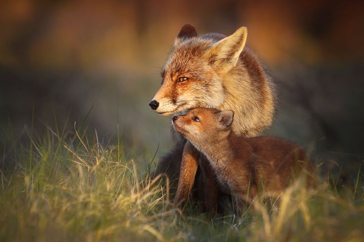 Joke Hulst is a Dutch Photographer who captures the everyday lives of foxes in beautifully intimate photographs. Based Amsterdam, Netherlands