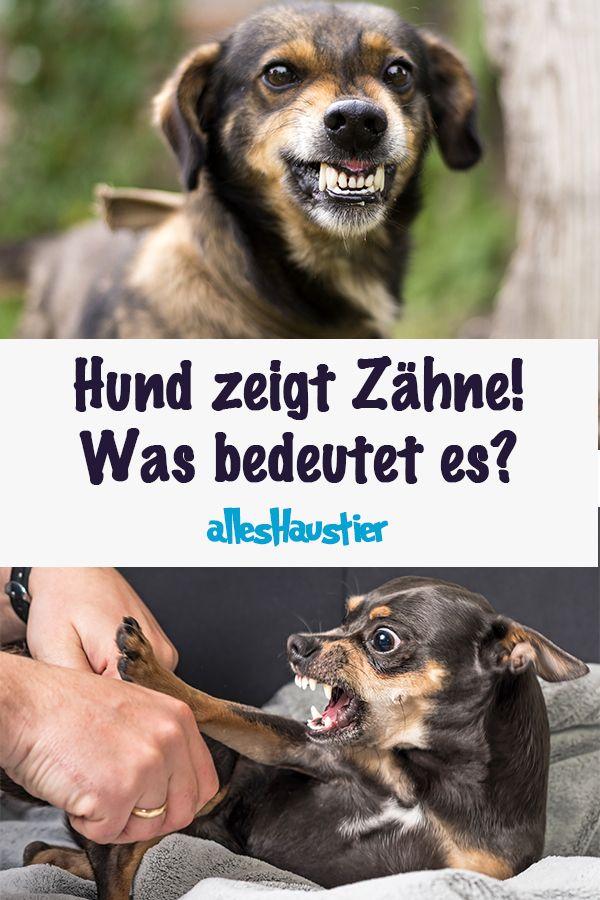 Hund Zeigt Zahne Was Es Bedeutet Und Was Du Tun Solltest Hunde Hundeverhalten Tiere Hund