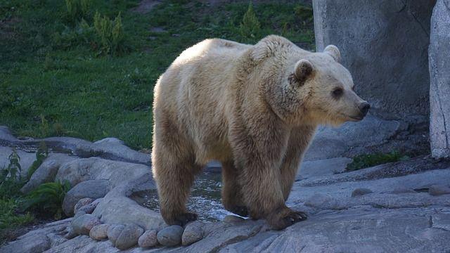 Eläintarhan karhu iltahämärässä.