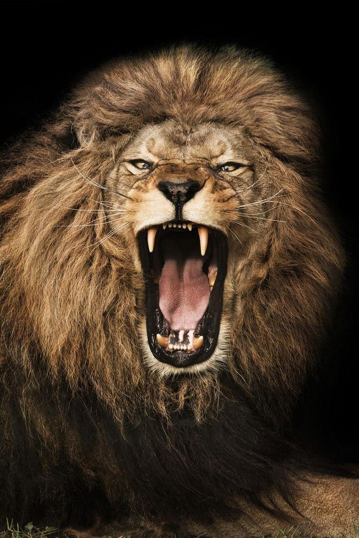 Mejores 48 imágenes de Tatoo Leones en Pinterest | Tatuaje de leona, Tatuajes de ...
