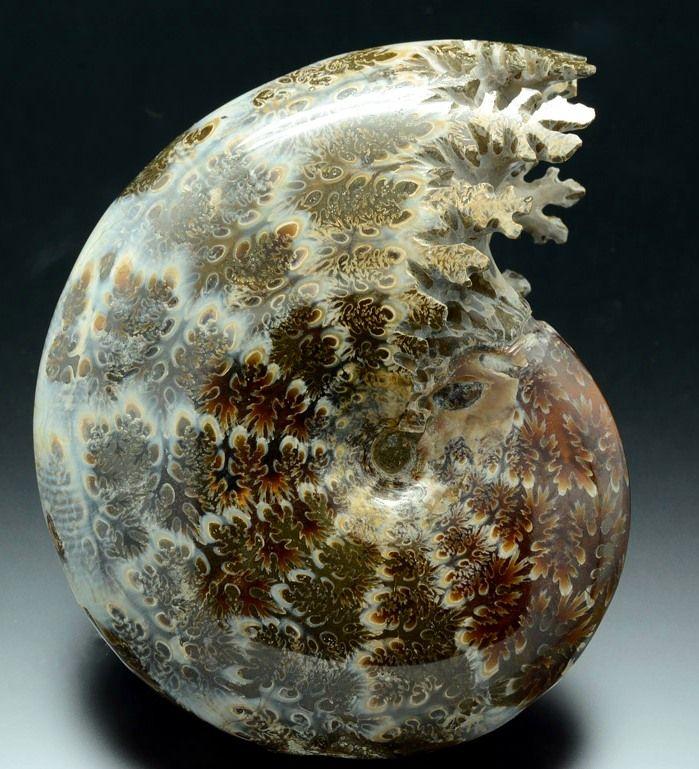 Ammonite - Madagascar