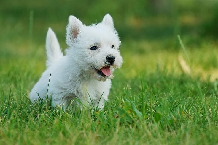 They became called the West Highland White Terrier within the 1st part of the 20th century.