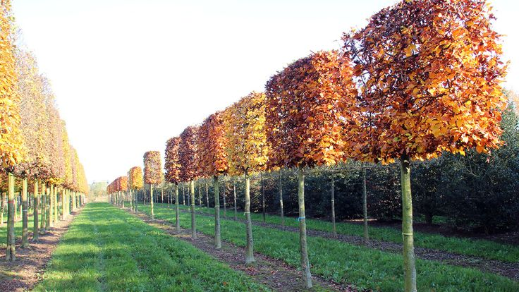Image result for pleached fagus