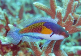 Yellow Flanked Fairy Wrasse