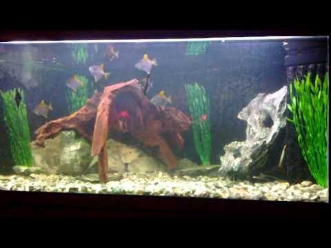 17 best images about brackish aquarium on pinterest for Brackish water fish