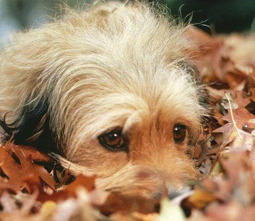 Benji Faze Rug Dog Breed: 49 Best Images About Benji On Pinterest
