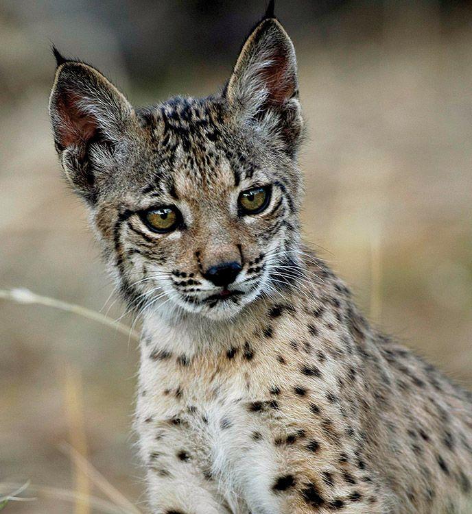 Magnificent lynx ibéric. adoptaconwwwf.es
