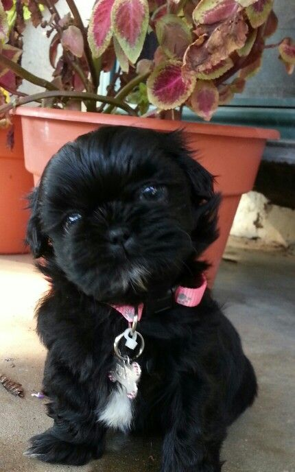 My baby shih tzu Piper