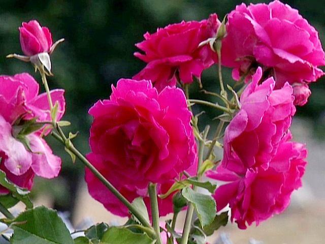 Pruning Roses During Winter Pruning Roses Rose Fertilizer Growing Roses