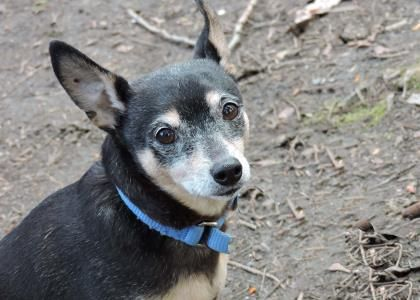 Meet Arya, a regal 10-year-old Chihuahua/Miniature Pinscher mix! Arya is shy when she first meets you, but warms up if you talk quietly until she is ready to get near you. Arya likes to go for walks and explore the neighborhood. She is no longer a power-walker, preferring endurance to a quick sprint. If you like long walks at a medium pace, Arya would love to go along. Arya would do best in a quiet home with experienced adopters who know she needs time and space to learn the home routine…