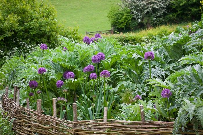 Sarah Raven planted this area more than a decade ago. Perennial artichokes mix with bulbs and tubers in three layers: dahlias in trenches at lowest level; Allium hollandicum 'Purple Sensation' (£8.50 for three plants) plus earlier and later allium varieties in the middle level; artichokes at the top level. The artichokes shown here are a mixture of 'Green Globe', Artichoke 'Violet de Provence' (£1.95 for 30 seeds), and Artichoke 'Gros Vert de Laon' (£1.95 for 30 seeds).