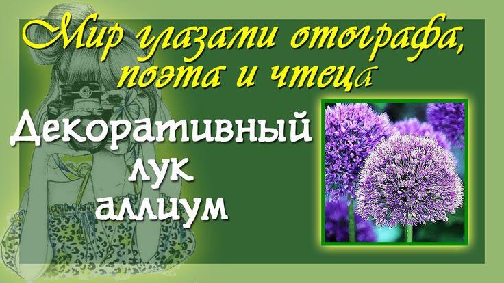 Авторский стих Декоративный лук  аллиум Фото интернет