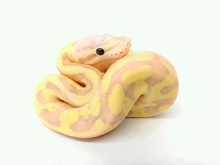 Banana Vanilla Scream (Banana Pastel Fire Vanilla)