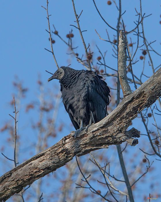 El zopilote negro, buitre negro americano, zopilote o jote de cabeza negra (Coragyps atratus)