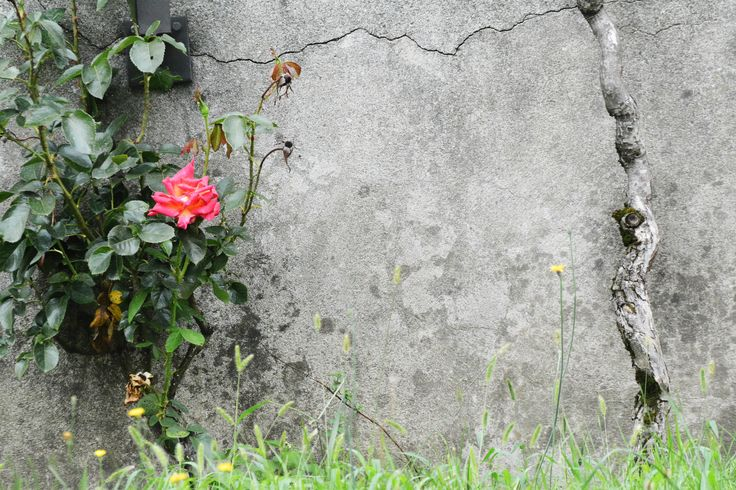 Lonely Rose - A rose, a wall and a little tree in Massagno, Canton Ticino, Switzerland.