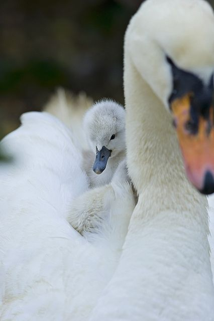 Mute swan & Cygnet by Jacky Parker Floral Art, via Flickr