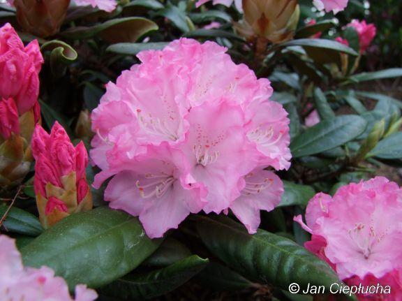 Władysław Łokietek PBR Kwiaty delikatnie różowe, w środku jaśniejsze, krawędzie płatków fryzowane.