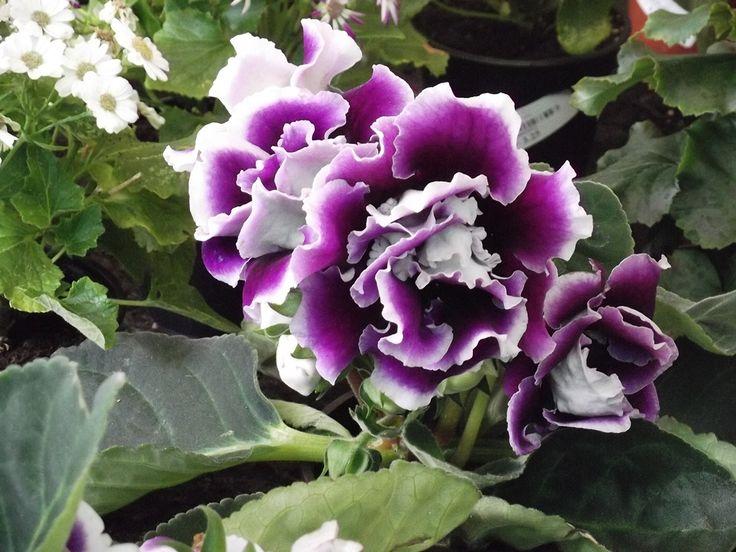 Gloxinias. Bulbosa que plantada en Primavera, florecerá en Verano. Flores en forma de campana, de tacto aterciopelado.  Con un tamaño que no supera los 20-25 cms de altura. Hojas voluminosas.  Necesita de mucha luz para florecer.  Le gusta la humedad, pero no mojes sus hojas.  Pueden abonarla cada 15 días. Riegos por debajo.  Suceptible a los excesos de riego, si observan pudrición de tallos, desechen la planta.