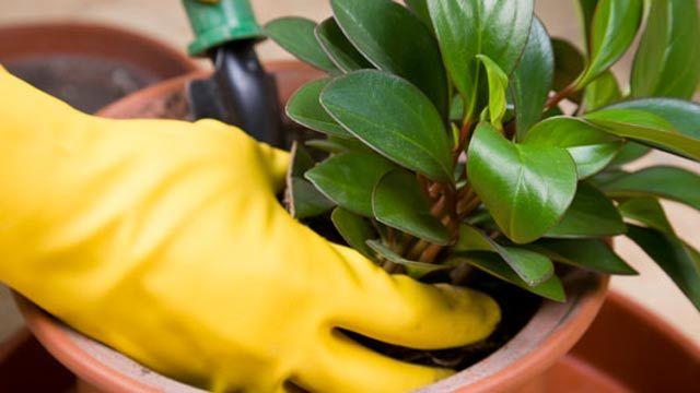 Zimmerpflanzen werden am besten im Frühjahr umgetopft. (Quelle: Thinkstock by Getty-Images)