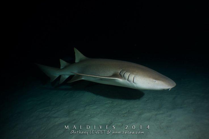 Plongée avec les requins nourrices d'Alimathaa aux Maldives... un vrai plongée à sensation au milieu des requins, des raies et des carangues !