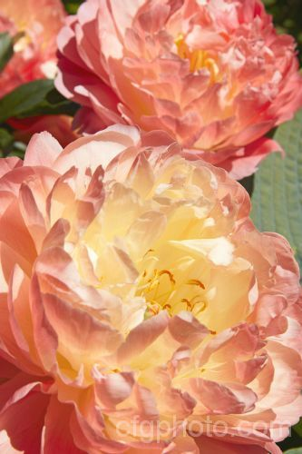 Paeonia 'Coral Charm', a Paeonia lactiflora hybrid with rather lax growth and huge, beautifully shaded, soft orange flowers opening from deep apricot buds. Available as a stock photo at Country, Farm and Garden Photo Library ( www.cfgphoto.com )