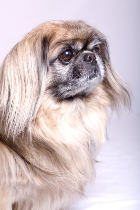 Cataracts in Dogs – Fight Against it with your Pekingese
