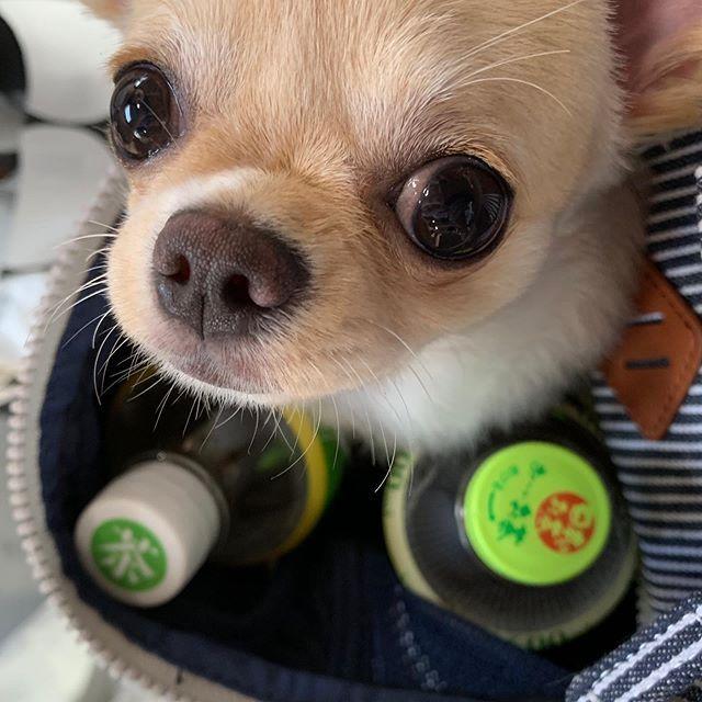 四国へしゅっぱーつ ひんやりペットボトルで みるくは快適なう はじめて 旅行 チワワ ロングコートチワワ 犬 いぬ 子犬 愛犬 みるく 四国へしゅっぱーつ ひんやりペットボトルで みるくは快適なう はじめて Dogs French Bulldog Bulldog