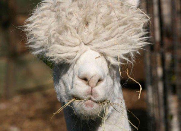 Best Funky Hair Images On Pinterest - 22 hilarious alpaca hairstyles
