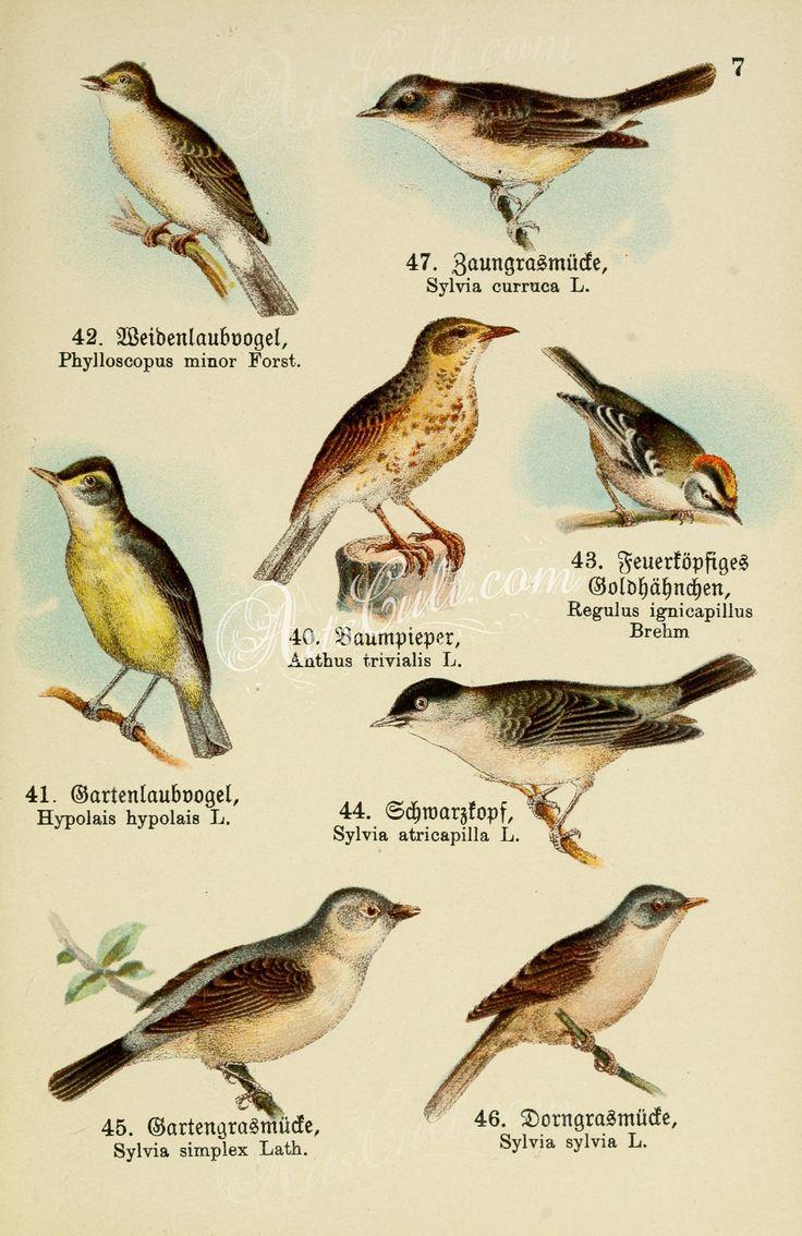 Eastern Bonelli's Warbler, Lesser Whitethroat, Brown Tree-Pipit, Common Firecrest, Plain White-eye, Eurasian Blackcap, Garden Warbler, Common Whitethroat      ...