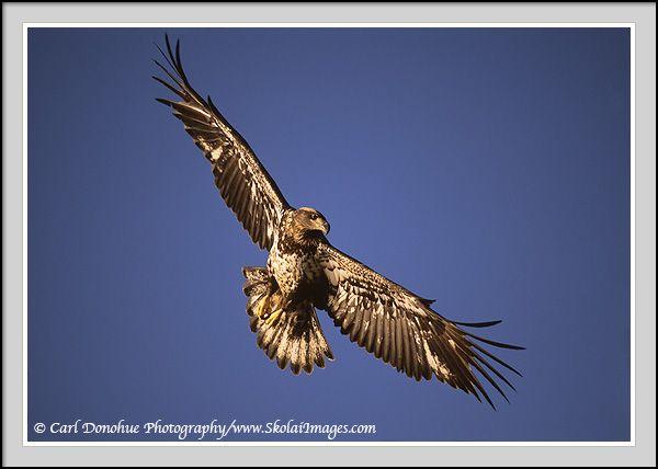 Juvenile bald eagle photos, immature bald eagle photos, young bald ...