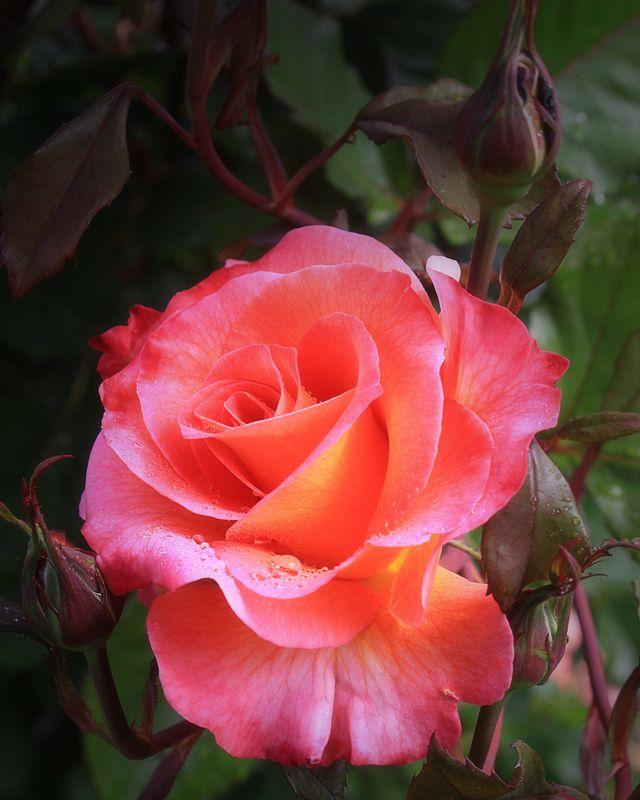 'Mardi Gras'   Floribunda Rose. Dr. Keith W. Zary (United States, 2007).   Flickr - © Photo Patty